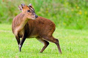 Muntjac deer (Muntiacus reevesi) sniffing the air for signs of danger on garden lawn, Hertfordshire, England, UK, June - Andy Sands