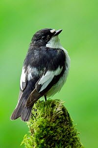 Pied Flycatcher (Ficedula hypoleuca) male perched on mossy stump, Wales, UK, June  -  Andy Sands