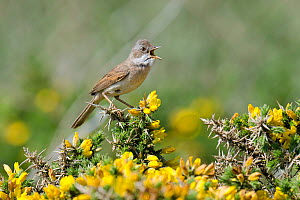 Whitethroat (Sylvia communis) male in full song on Gorse, Cornwall, England, UK, May  -  Andy Sands