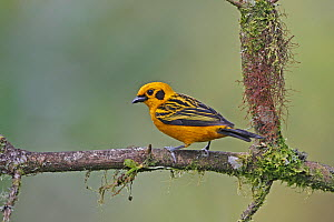 Golden tanager (Tangara arthus) perched on branch, Mindo, Ecuador  -  Mike Wilkes