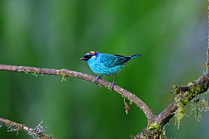 Golden-naped tanager (Tangara ruficervic) perched on branch, Mindo, Ecuador  -  Mike Wilkes