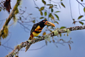 Pale-mandible aracari (Pteroglossus erythopygius) perched on a branch, Mindo, Ecuador  -  Mike Wilkes
