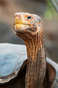 Hood island giant tortoise (Chelonoidis nigra hoodensis) used for breeding program since 1960s, Tortoise Breeding Centre, Puerto Ayora, Santa Cruz Island, Galapagos Islands, Ecuador, Critically endang...  -  Tui De Roy