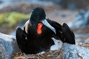 Great frigatebird (Fregata minor) male guarding single chick. Punta Cevallos, Espanola Island, Galapagos, Ecuador, May.  -  Tui De Roy