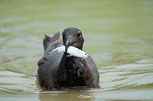 Lava / Dusky gull (Leucophaeus fuliginosus) with caught fish in tidal lagoon. The species endemic to the Galapagos, with around 1,000 living individuals. Vulnerable species. Academy Bay, Santa Cruz Is...  -  Tui De Roy