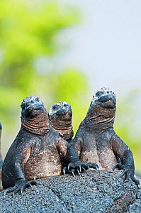 Marine iguanas (Amblyrhynchus cristatus) sky-pointing position to keep cool in sun. Punta Espinosa, Fernandina Island, Galapagos Islands, Ecuador, June.  -  Tui De Roy