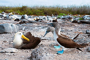 Waved Albatross (Phoebastria irrorata) and Blue-footed Booby (Sula nebouxii) squabbling over nesting sites. Galapagos Islands, Ecuador, June. - Tui De Roy