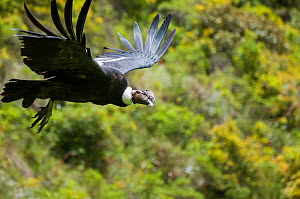 Andean condor (Vultur gryphus) wild bird visiting rehabilitation center, Kondor Huasi Rehabilitation Center, Hacienda Zuleta, Cayambe, Ecuador. Did you know? The Andean Condor is a national symbol of...  -  Tui De Roy