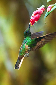 Buff tailed coronet (Boissonneaua flavescens) feeding at flowers, Bellavista cloud forest private reserve, Tandayapa Valley, Andean cloud forest, Tropical Andes, Ecuador  -  Tui De Roy