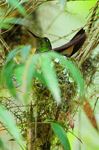 Buff tailed coronet (Boissonneaua flavescens) at nest, Bellavista cloud forest private reserve, Tandayapa Valley, Andean cloud forest, Tropical Andes, Ecuador  -  Tui De Roy