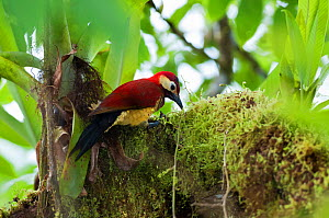 Crimson-mantled woodpecker (Colaptes rivolii) feeding on insects on branch, Bellavista cloud forest private reserve, 1700m altitude, Tandayapa Valley, Andean cloud forest, Ecuador - Tui De Roy