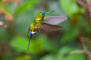 Sapphire-vented puffleg (Eriocnemis luciani) in flight, Yanacocha Reserve, Jocotoco Foundation, 3,200m altitude on west slope of Pichincha Volcano, Andean cloud forest, Ecuador - Tui De Roy