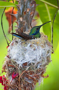 Sparkling violetear hummingbird (Colibri coruscans) incubating eggs at nest, Andean cloud forest, Ecuador  -  Tui De Roy