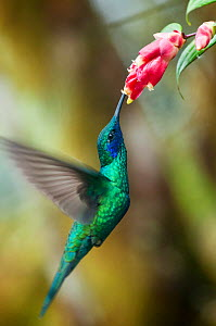 Sparkling violetear hummingbird (Colibri coruscans)in flight feeding at flowers, Bellavista cloud forest private reserve, 1700m altitude, Tandayapa Valley, Andean cloud forest, Ecuador - Tui De Roy