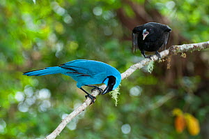 Turquoise jay (Cyanolyca turcosa) raising parasitic Giant cowbird chick, Bellavista cloud forest private reserve, 1700m altitude, Tandayapa Valleyk, Andean cloud forest, Ecuador  -  Tui De Roy