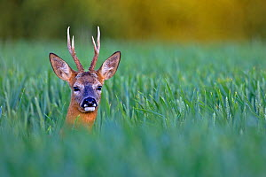 Roe deer (Capreolus capreolus) buck  in cereal field, UK June  -  Andy Rouse