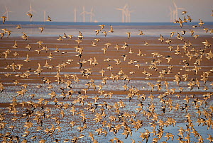 Knot (Calidris canuta) flock in flight on foreshore with wind turbines in distance, Liverpool Bay, UK December  -  Andy Rouse