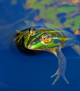 Dahl's Aquatic frog (Litoria dahli) in water, Bamarru Plains, North West Territories, Australia - Andy Rouse