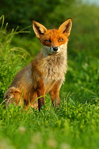 RF- Red Fox (Vulpes Vulpes) adult at rest, UK, taken in controlled conditions, August. (This image may be licensed either as rights managed or royalty free.)  -  Andy  Rouse