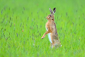 European hare (Lepus europaeus) male standing on hind legs watching female, UK, April  -  Andy  Rouse