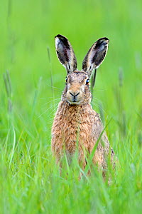 European hare (Lepus europaeus) in field, UK, April  -  Andy Rouse