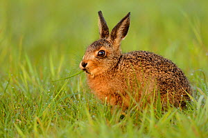 European hare (Lepus europaeus) leveret eating grass in field, UK, May  -  Andy Rouse