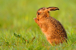 RF- European hare (Lepus europaeus) leveret cleaning, UK, May. (This image may be licensed either as rights managed or royalty free.)  -  Andy  Rouse