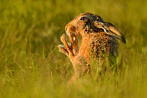 European hare (Lepus europaeus) cleaning feet, UK, May - Andy Rouse