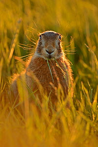 European hare (Lepus europaeus) in field, UK, May - Andy Rouse