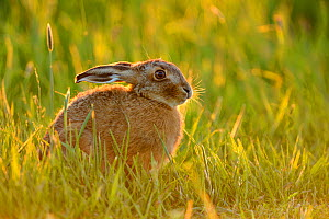 European hare (Lepus europaeus) in grass field, UK, May  -  Andy Rouse