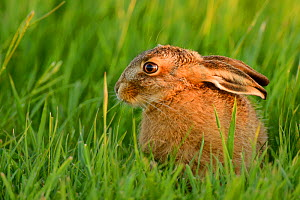 European hare (Lepus europaeus) leveret in field, UK, May  -  Andy Rouse