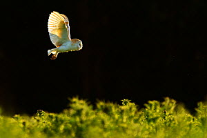 Barn owl (Tyto alba) hunting, UK, June  -  Andy Rouse