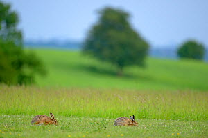 European hares (Lepus europaeus) male and female at start of courtship, UK, February  -  Andy Rouse