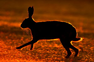 RF- European hare (Lepus europaeus) silhouetted running at sunrise, UK, June. (This image may be licensed either as rights managed or royalty free.)  -  Andy  Rouse