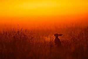 European hare (Lepus europaeus) silhouetted sitting in field at sunrise, UK, June  -  Andy Rouse