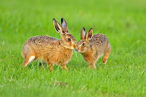 European hare (Lepus europaeus) leverets in field, ~UK, June  -  Andy Rouse
