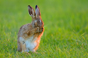 European hare (Lepus europaeus) leveret cleaning, UK, June - Andy Rouse