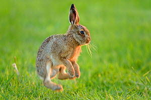 European hare (Lepus europaeus) leveret jumping, Essex, UK, June  -  Andy Rouse