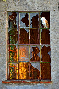 Barn owl (Tyto alba) perched in frame of old window, UK, April  -  Andy Rouse