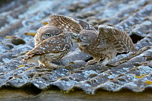 Little owl (Athene noctua) parent feeding owlets on roof of building, UK, June  -  Andy Rouse