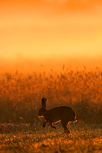 European hare (Lepus europaeus) silhouetted hopping in field at sunrise, UK July  -  Andy Rouse