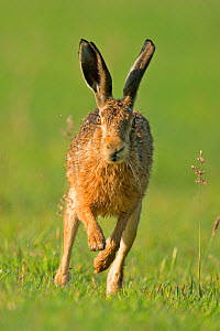 European hare (Lepus europaeus) running head on, UK July  -  Andy Rouse