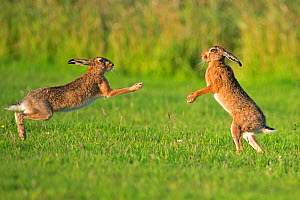 RF- European hares (Lepus europaeus) boxing, UK (This image may be licensed either as rights managed or royalty free.)  -  Andy  Rouse