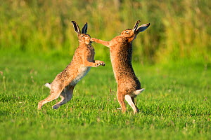 European hares (Lepus europaeus) boxing, UK  -  Andy Rouse