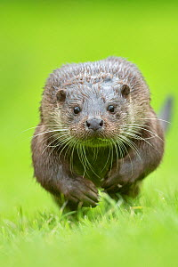 European otter (Lutra lutra) running, UK, taken in controlled conditions July. Crop of 01402435 - Andy Rouse