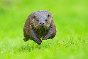 European otter (Lutra lutra) running, UK, taken in controlled conditions July  -  Andy Rouse