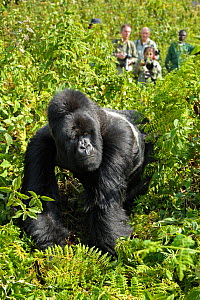 Mountain gorilla (Gorilla beringei) silverback walking in front of watching tourists, Virunga Volcanoes, Rwanda 2012. No release available. - Andy Rouse