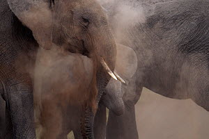 African elephants (Loxodonta africana) dust bathing, Masai Mara National Reserve, Kenya, August.  -  Anup Shah