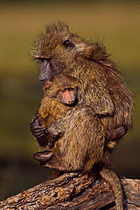 Olive baboon (Papio cynocephalus anubis) juvenile cuddling an infant aged 9-12 months, Masai Mara National Reserve, Kenya, August  -  Anup Shah