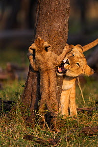 Lioness (Panthera leo) playing with young cub aged 3-6 months, Masai Mara National Reserve, Kenya, August  -  Anup Shah